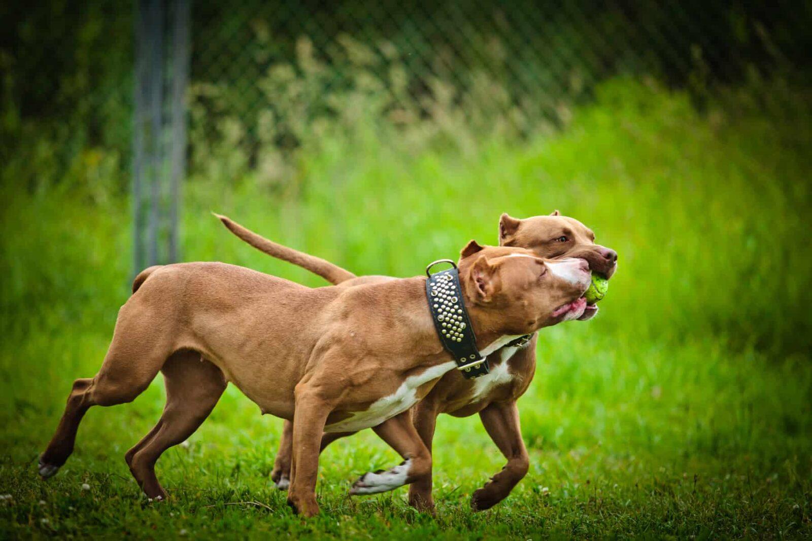 indestructible dog toys for pit bulls